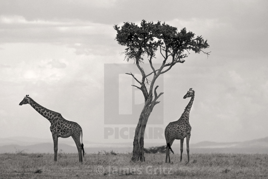 """""""Reticulated Griraffes"""" stock image"""