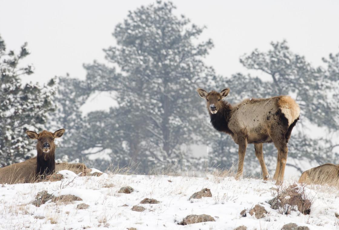 """Two female elk, Colorado"" stock image"