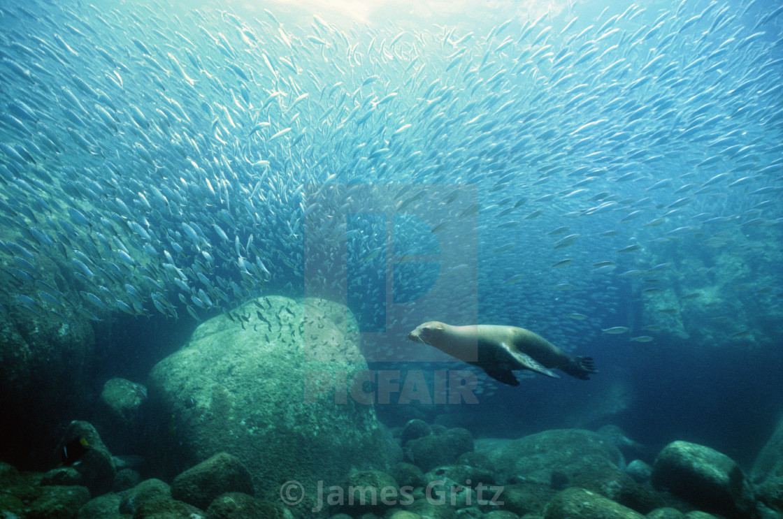 """Sea lion swimming with school of fish, Sea of Cortez, Baja, Mexico,"" stock image"
