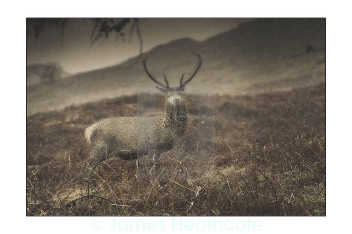 """Highland Stag 2"" stock image"