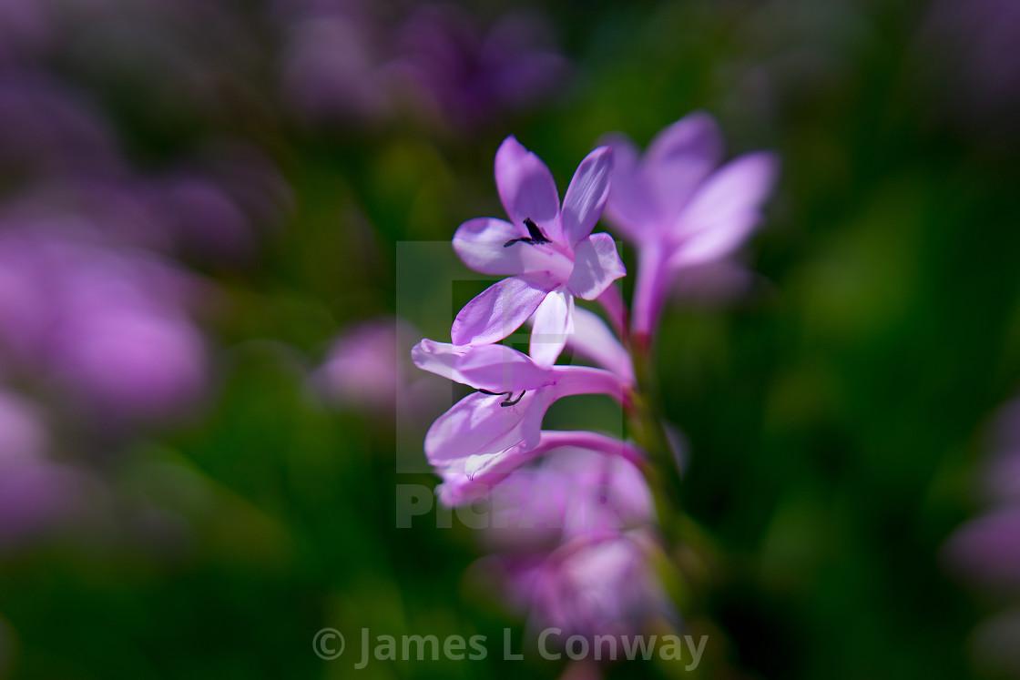 """Purple lily"" stock image"