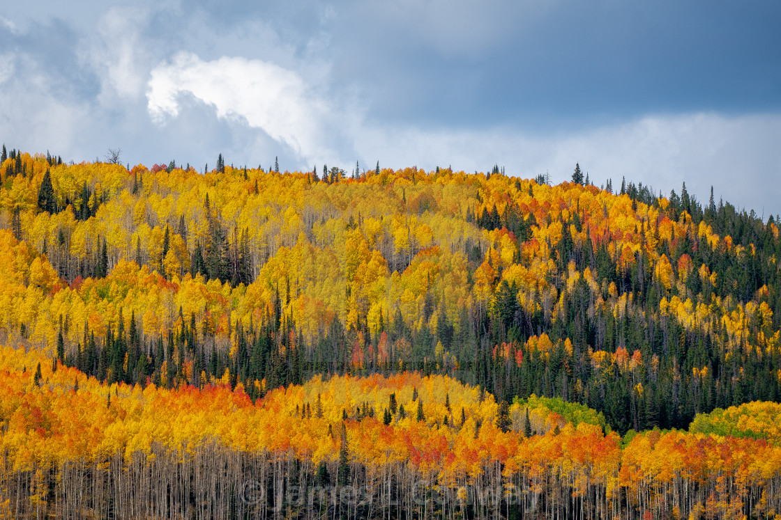 """Fall colors on aspen trees"" stock image"