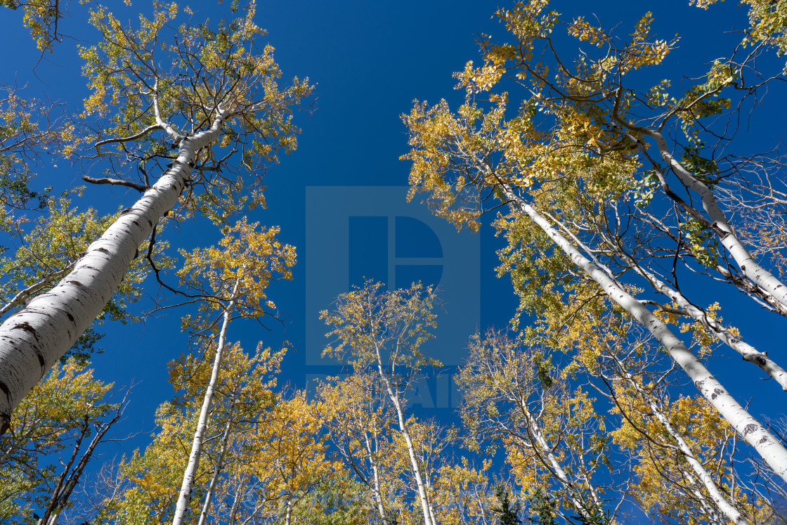 """Aspen Trees reach into the sky"" stock image"