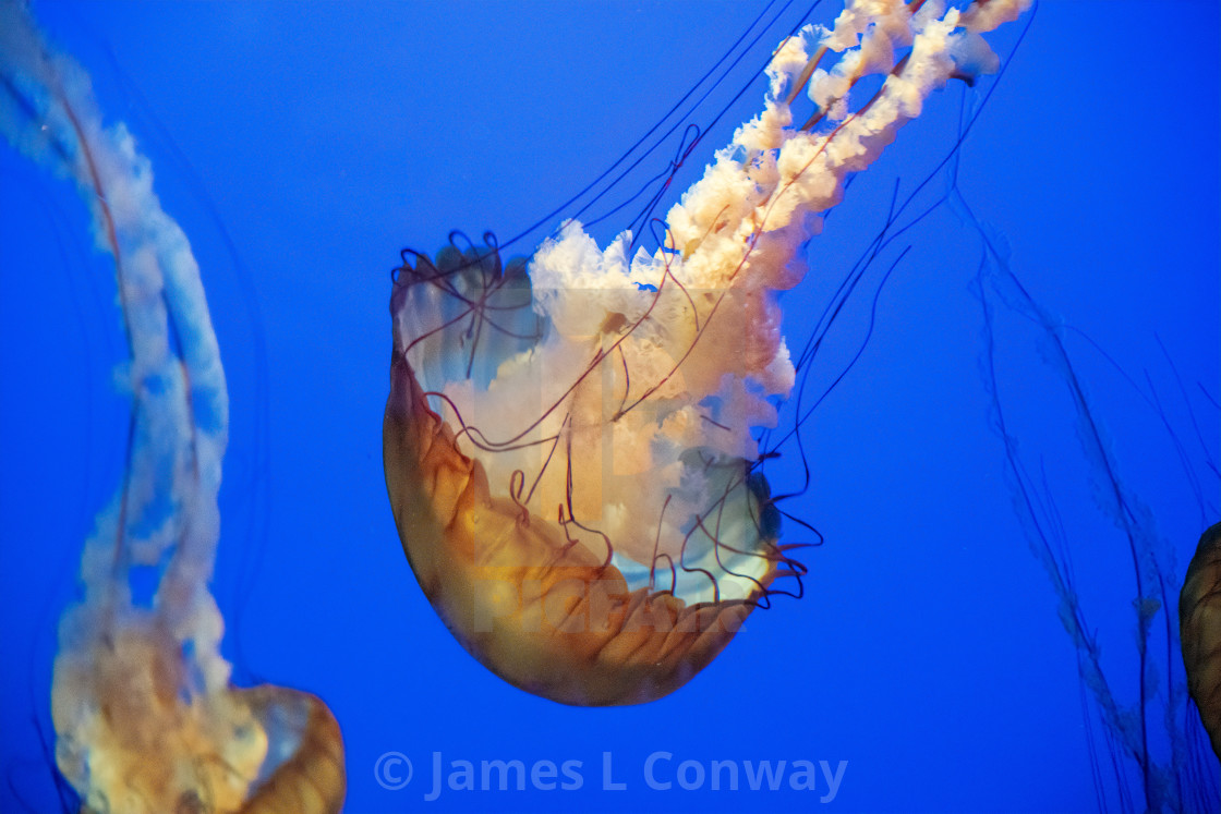 """Jellyfish in ocean"" stock image"