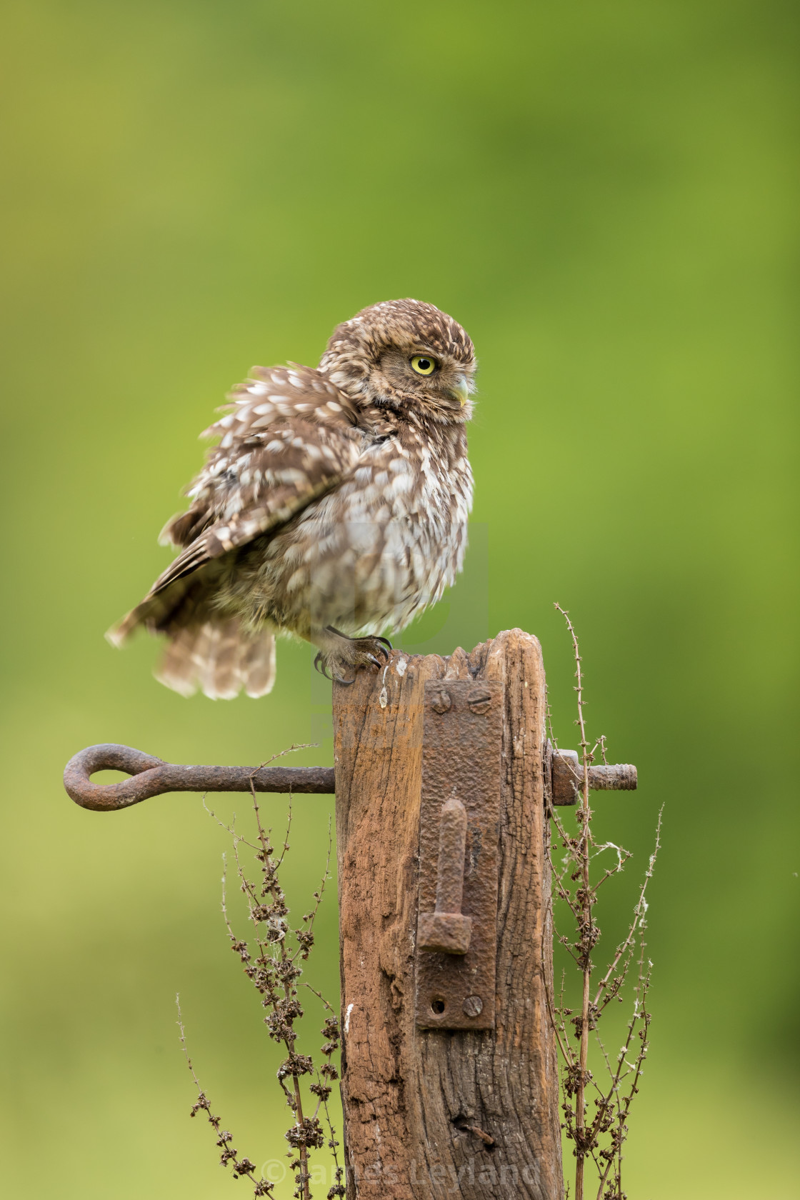 """""""Puffed Up Little Owl"""" stock image"""