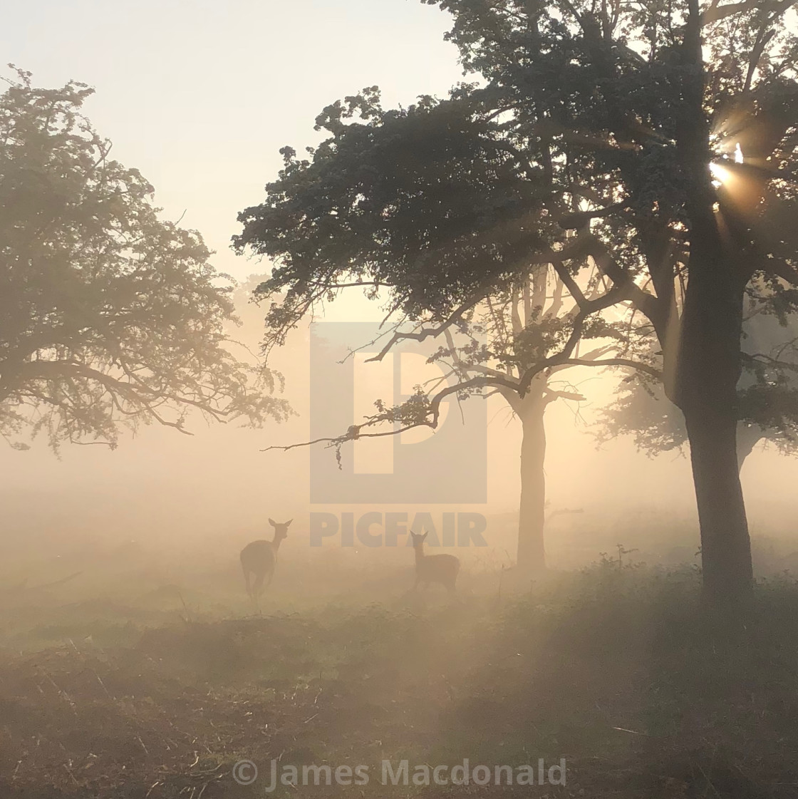 """Deer in the mist in Bushy Park"" stock image"