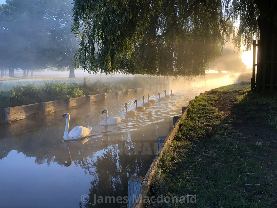"""Swans in Bushy Park"" stock image"
