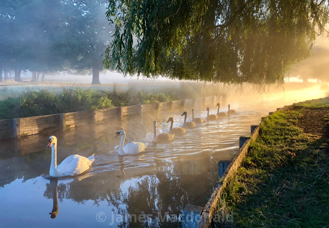 """Swans in a misty Bushy Park, London"" stock image"