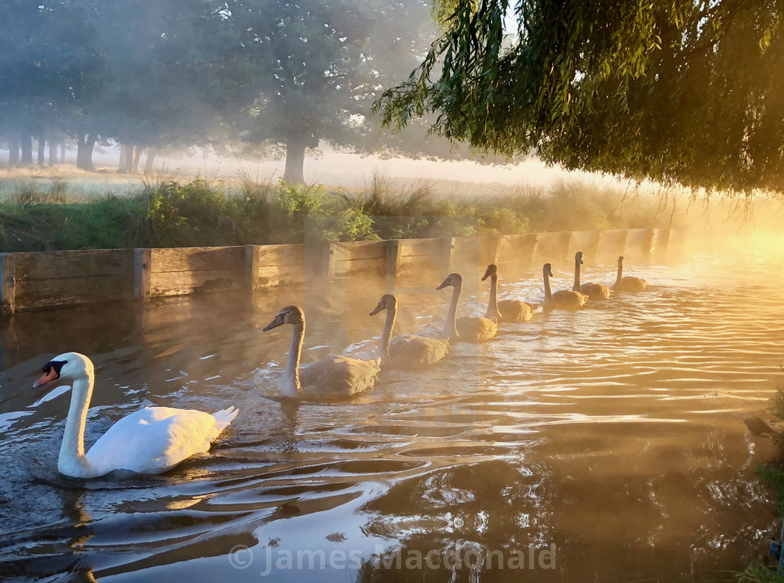 """""""Family of Swans in early morning mist, Bushy Park"""" stock image"""