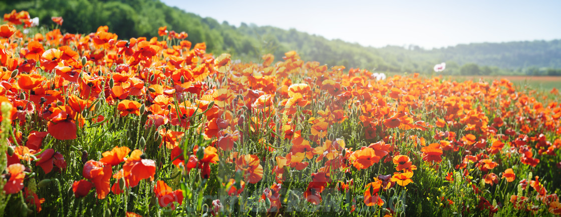 """Poppy Field Panorama"" stock image"