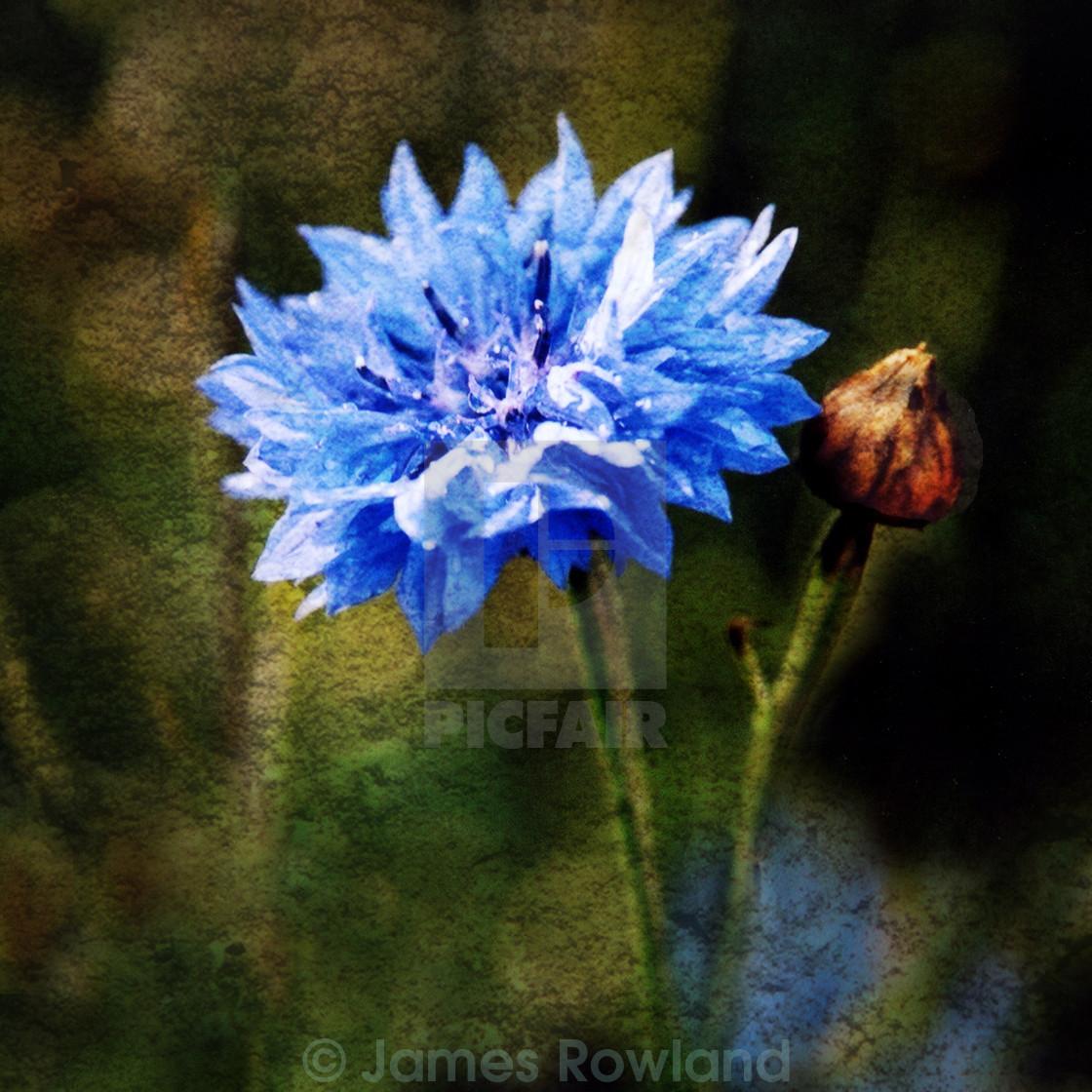 """Cornflower Blues"" stock image"