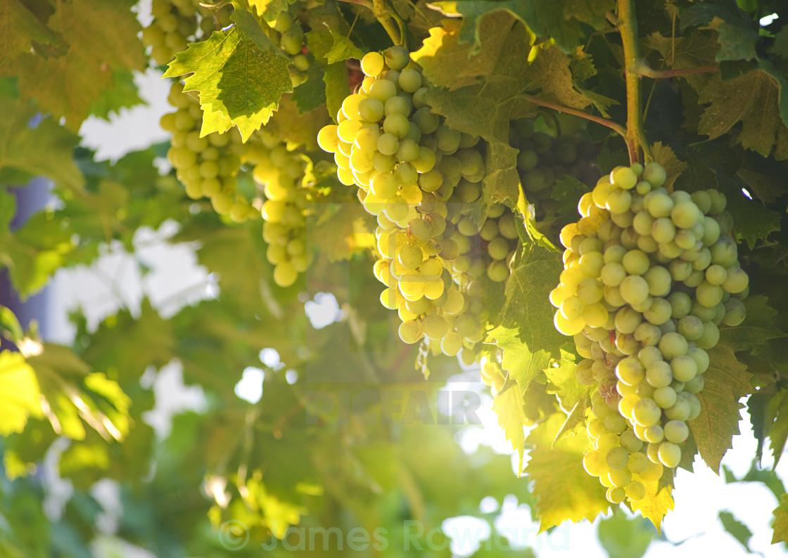 """Grapes Through the Sunshine"" stock image"