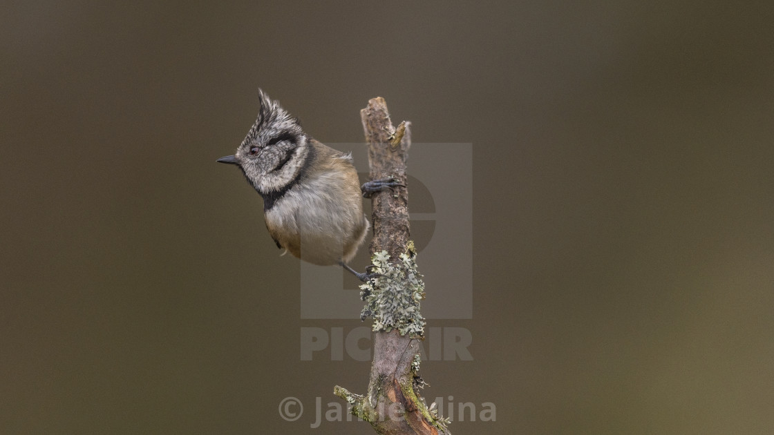 """Crested Tit"" stock image"
