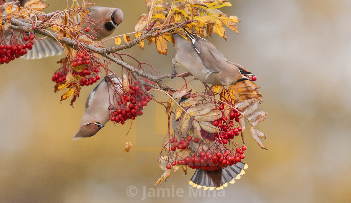 """Waxwings"" stock image"