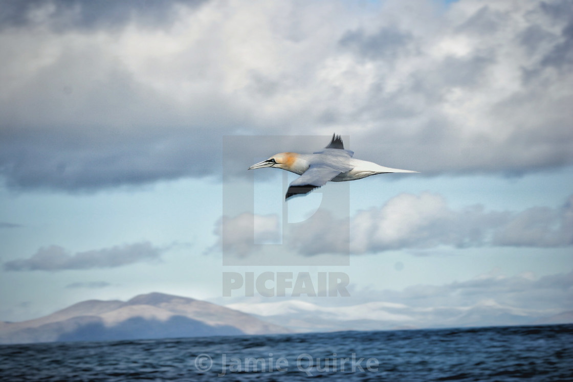 """Gannet flying by 