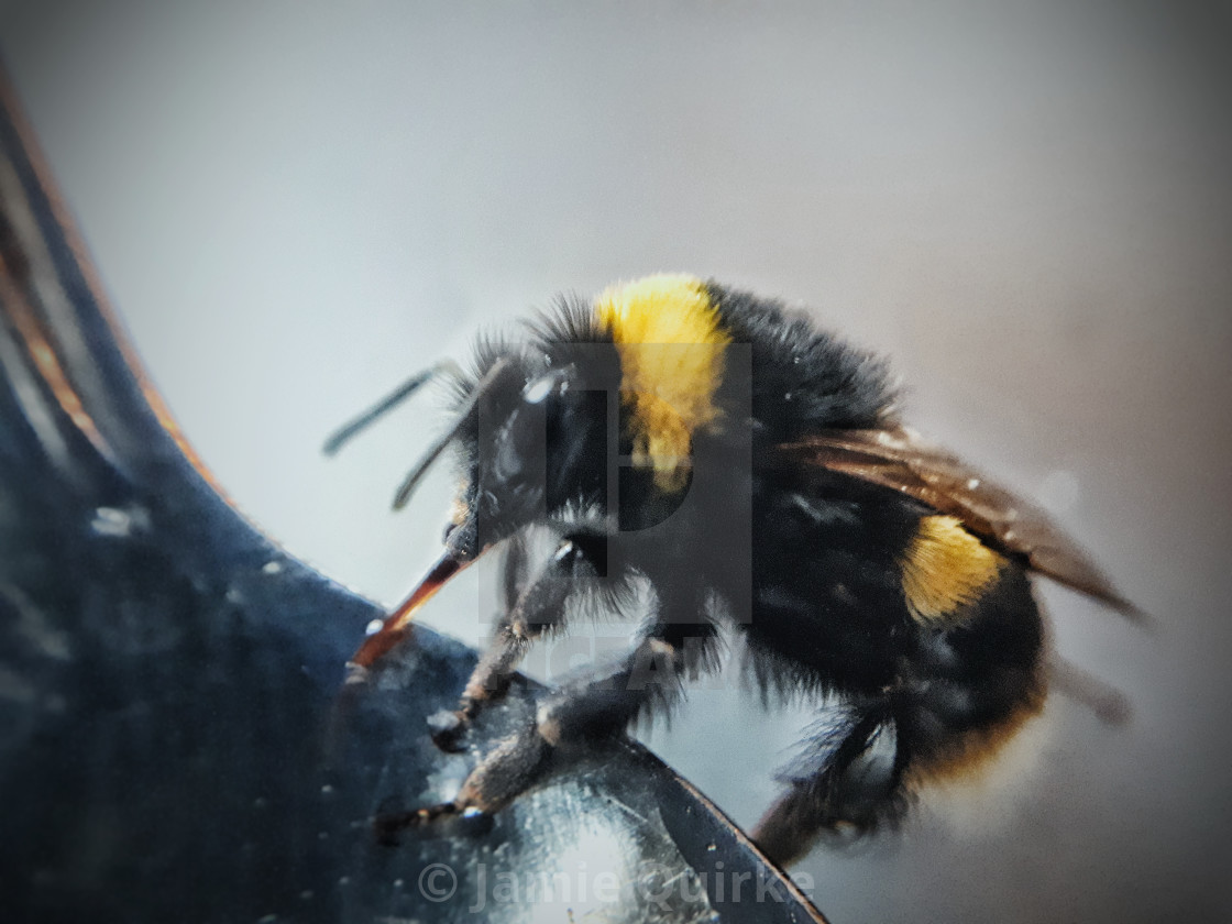 """An Early Bumblebee, Bombus pratorum"" stock image"