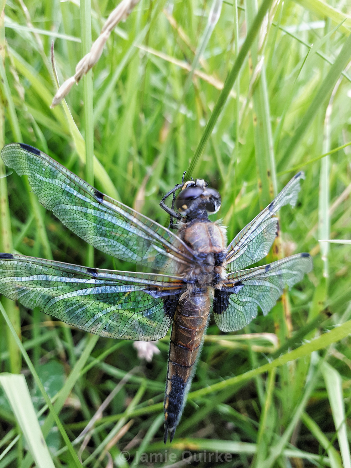 """""""Four-spotted Chaser (Libellula quadrimaculata)"""" stock image"""