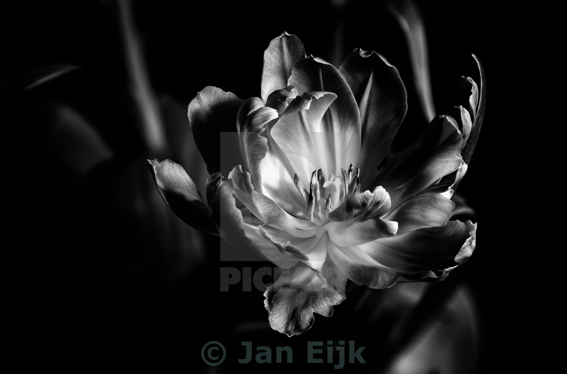 """Tulip in Black and White"" stock image"