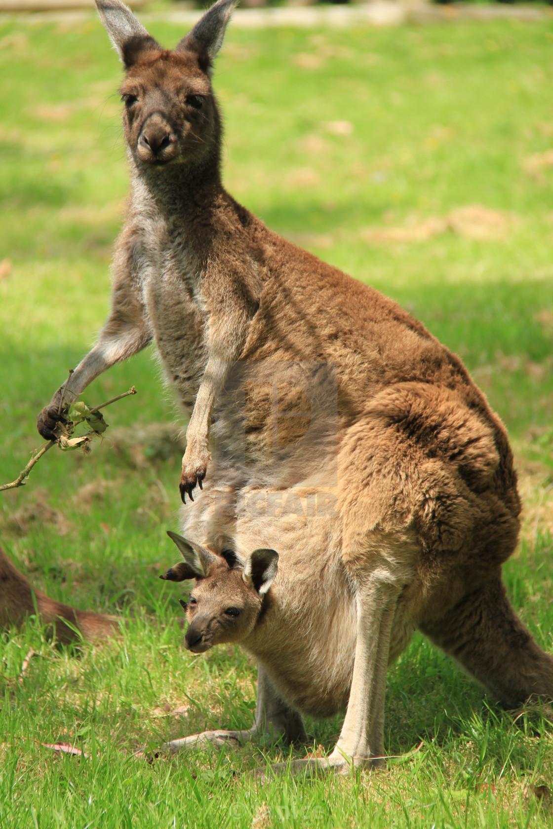 """""""Kangaroo parent"""" stock image"""