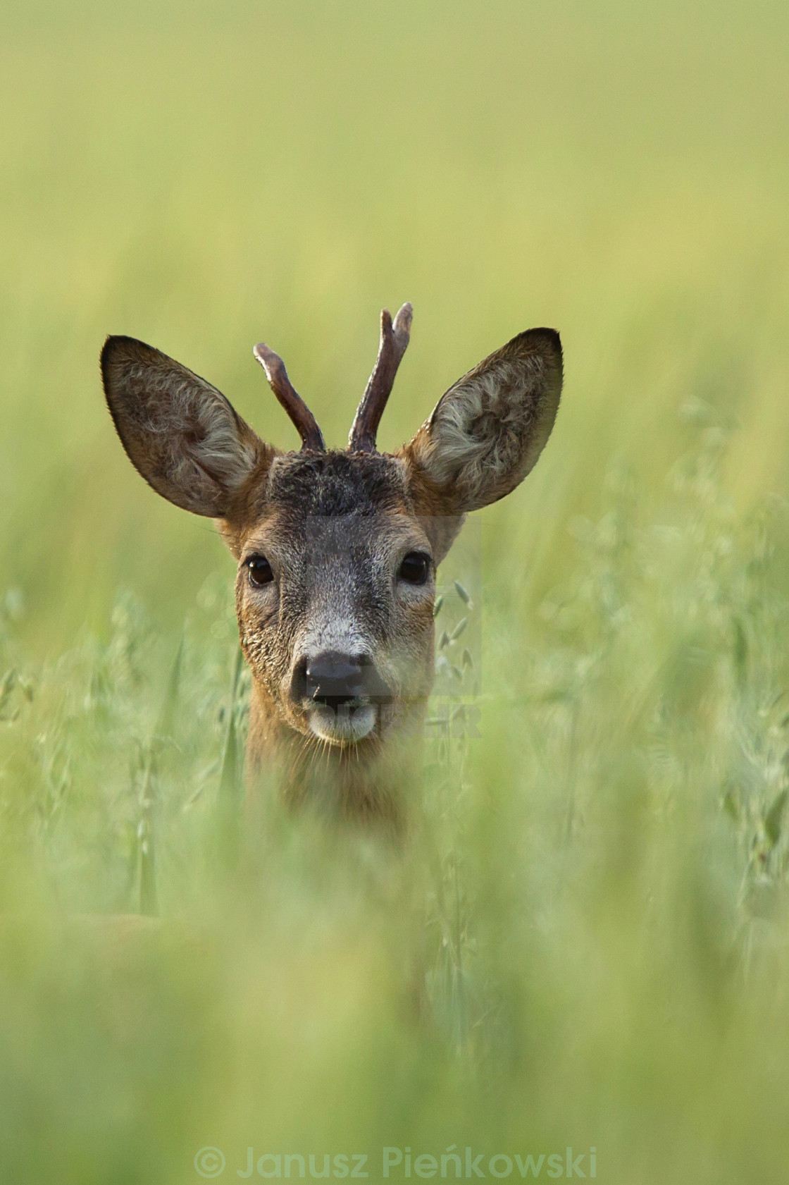"""Buck deer hidden in the grass"" stock image"