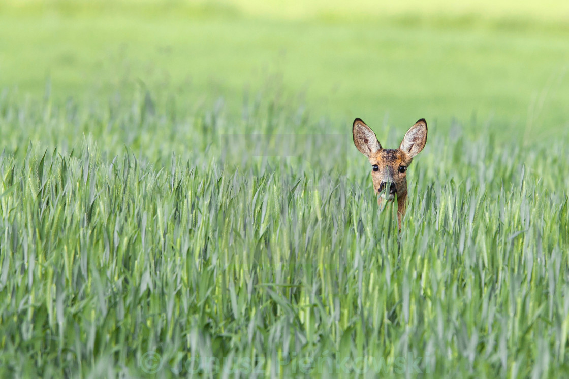 """Roe-deer in a clearing"" stock image"