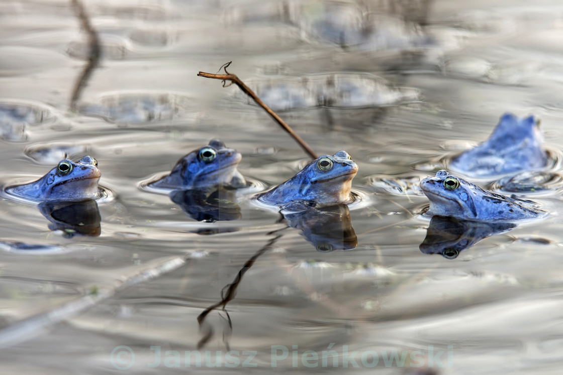 """Moor frogs in the wild"" stock image"