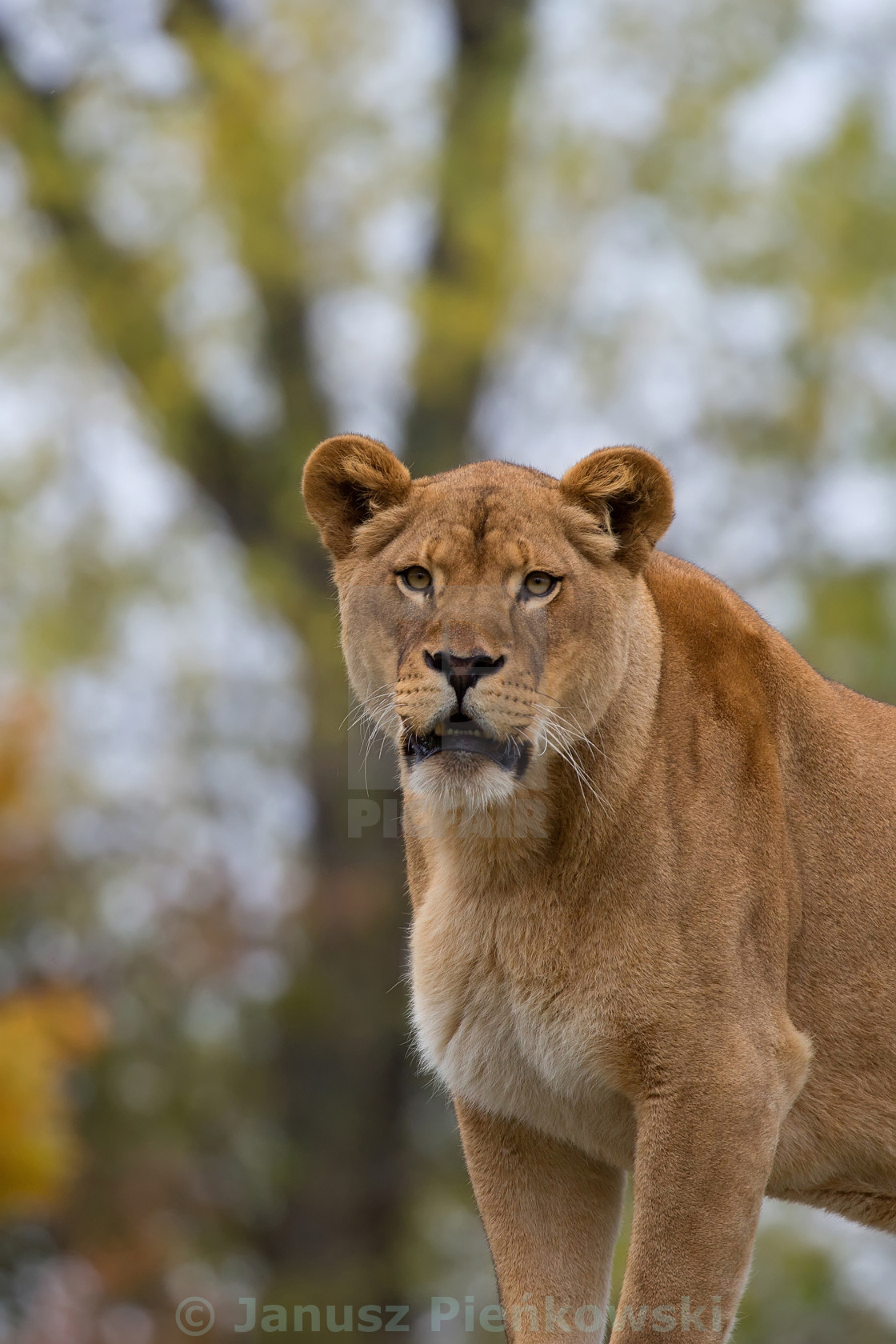 """""""Lioness in a clearing, a portrait"""" stock image"""