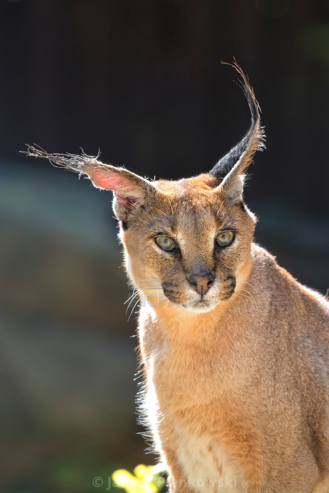 """Caracal in the wild, a portrait"" stock image"