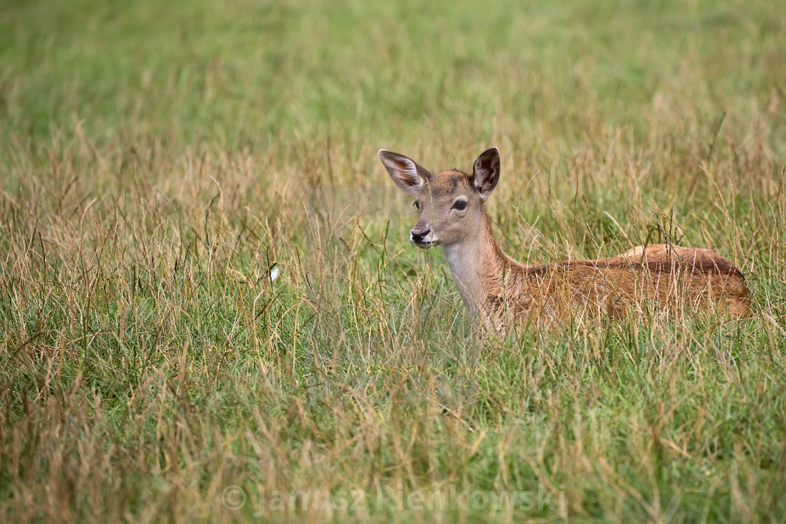 """""""Young Fallow deer resting in a clearing"""" stock image"""