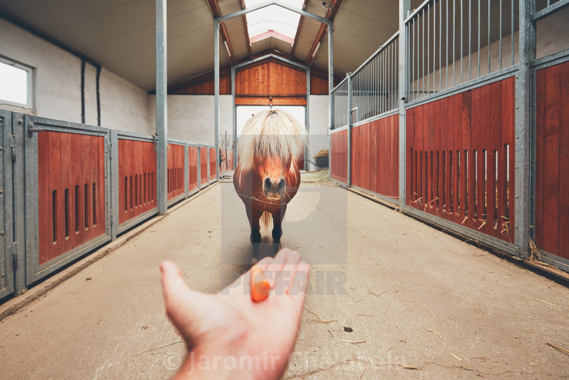"""Miniature horse in the stable"" stock image"
