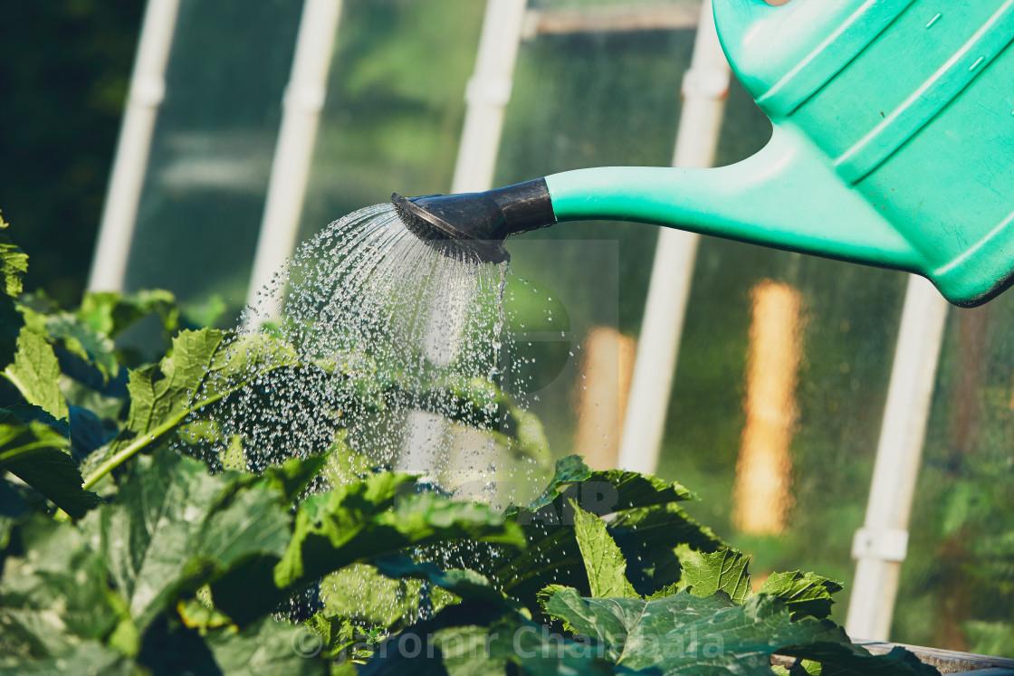 """""""Watering from plastic watering can on the garden."""" stock image"""