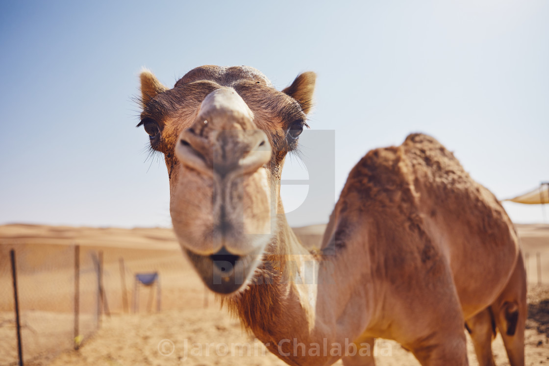"""Curious camel in desert"" stock image"