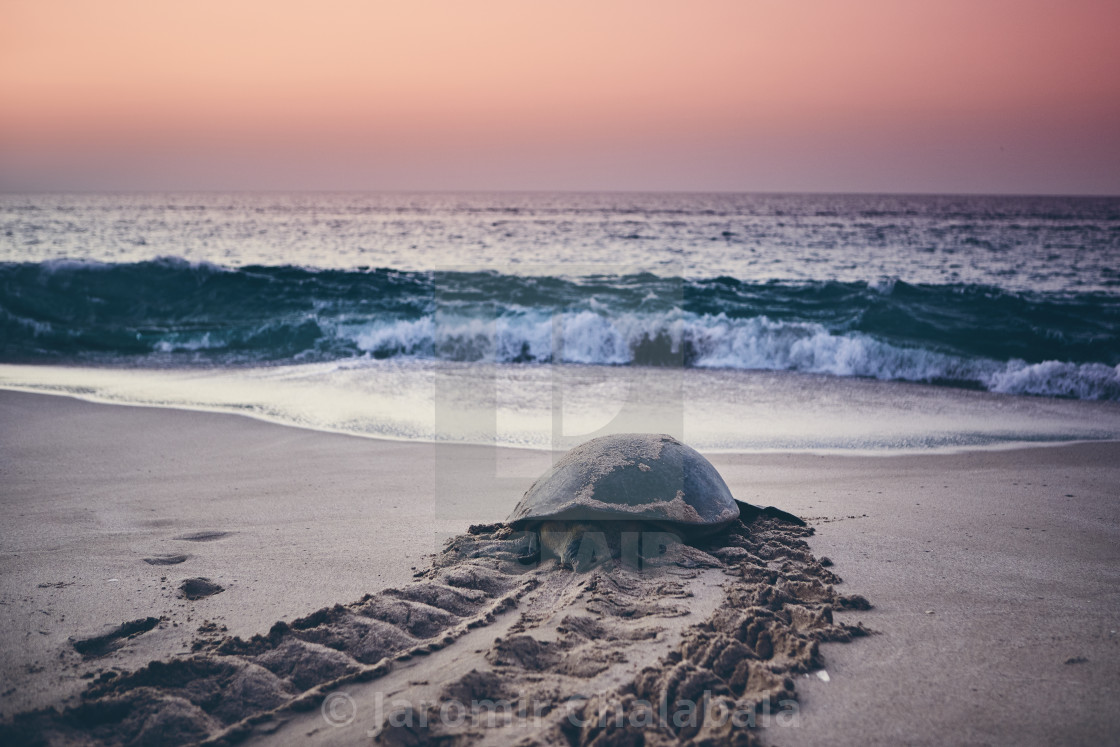 """Green turtle heading back to ocean"" stock image"