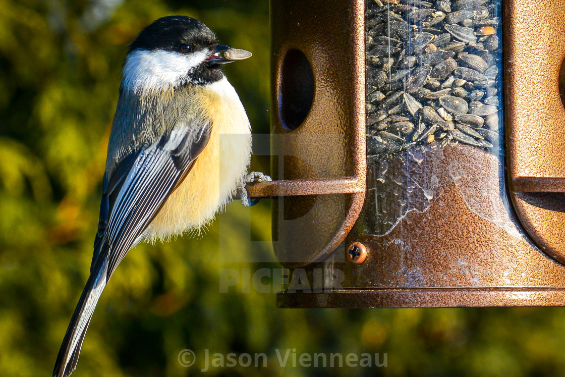 """Black-capped chickadee on bird feeder"" stock image"