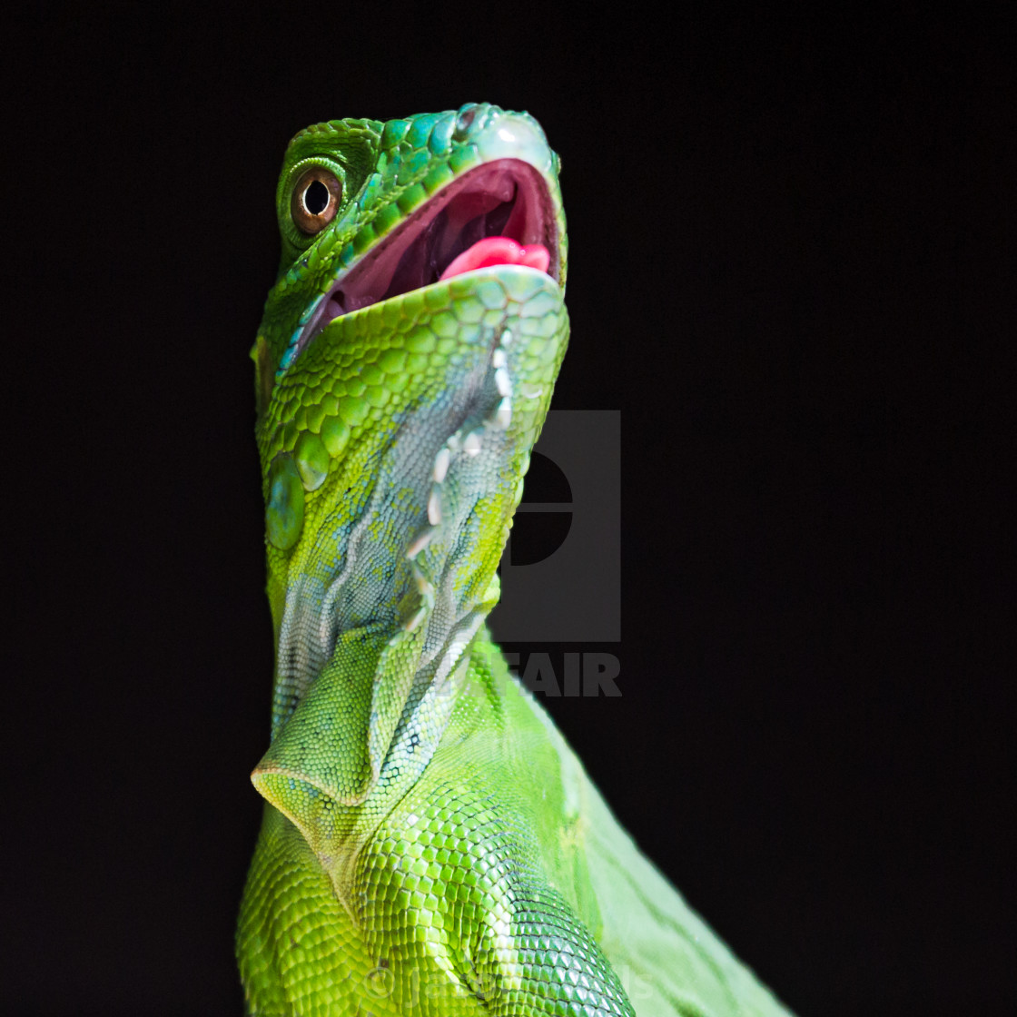"""Square crop of a Green Iguana"" stock image"