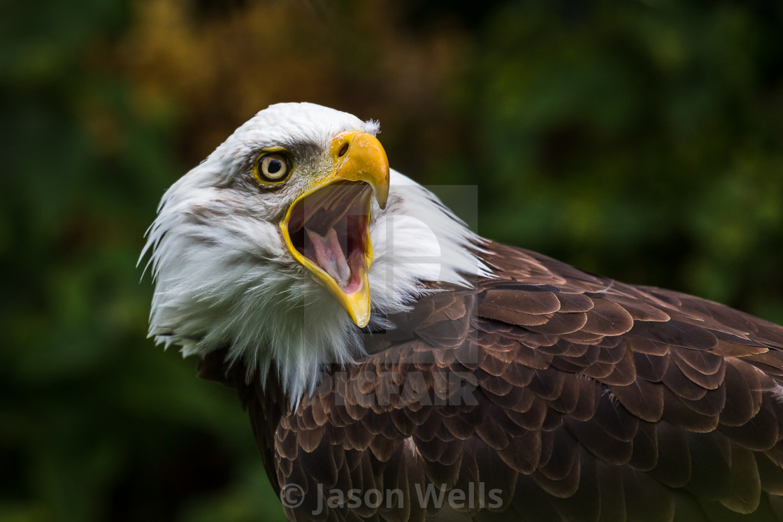 """A Bald Eagle with its mouth open."" stock image"