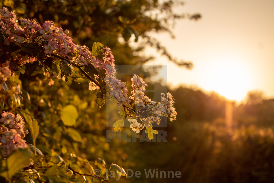 """""""Pink Blossom at Sunset"""" stock image"""