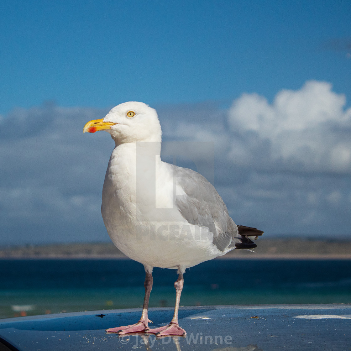 """""""Seagull Close-Up"""" stock image"""