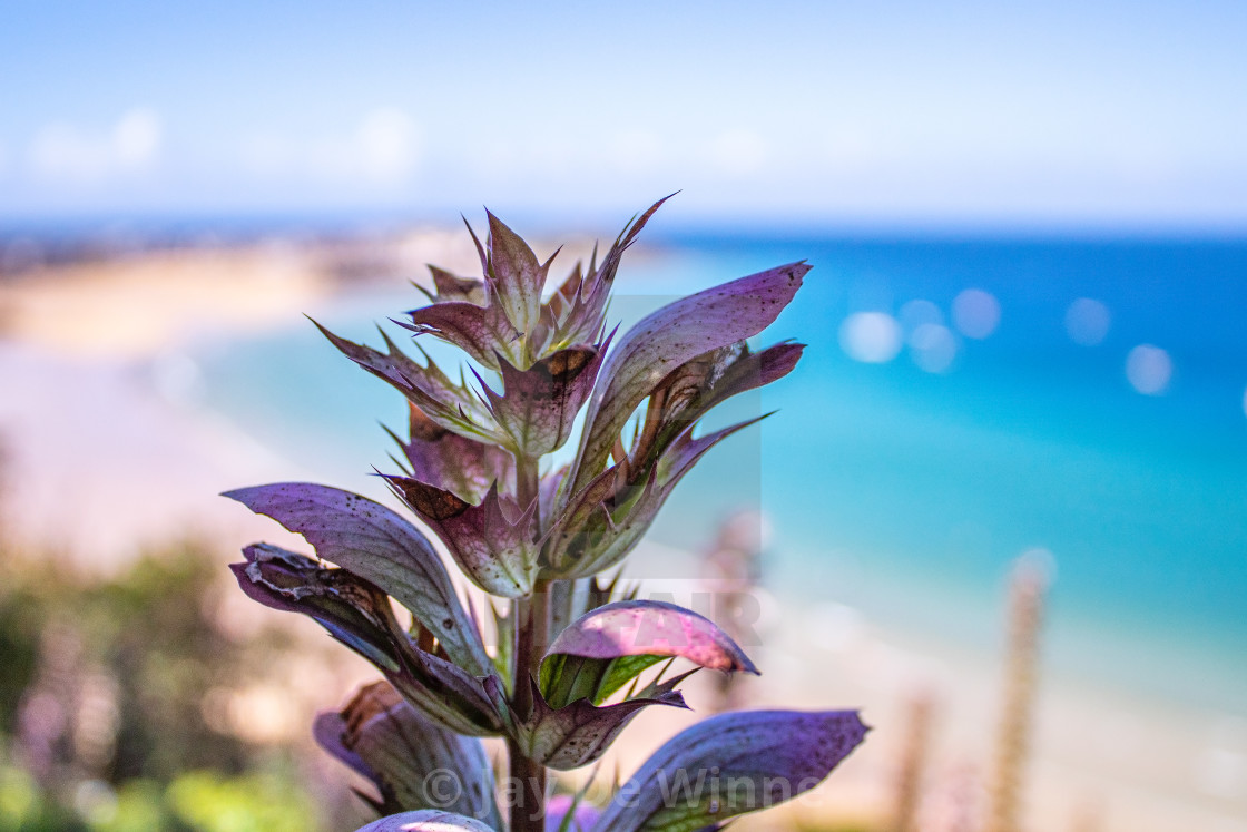 """Blue/Purple Flower In Foreground, St. Ives"" stock image"