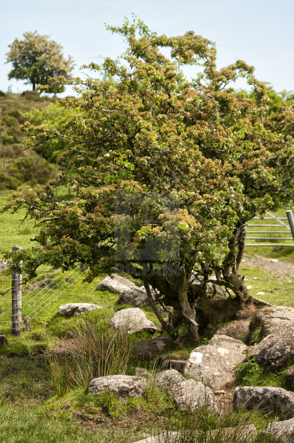 """Tree at Cator Common, Dartmoor National Park"" stock image"