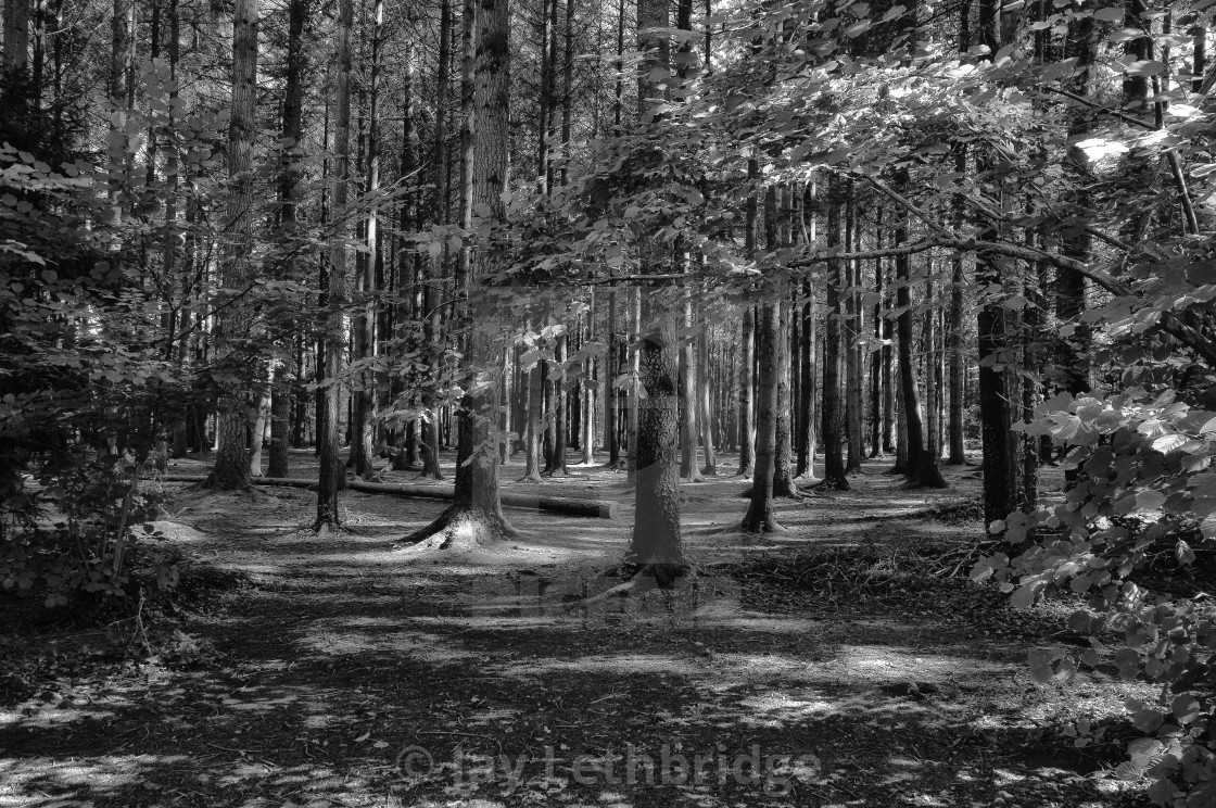 """Stover Country Park in Black and White"" stock image"