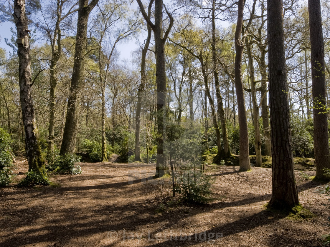 """Sunshine through the Trees at Stover Country Park"" stock image"