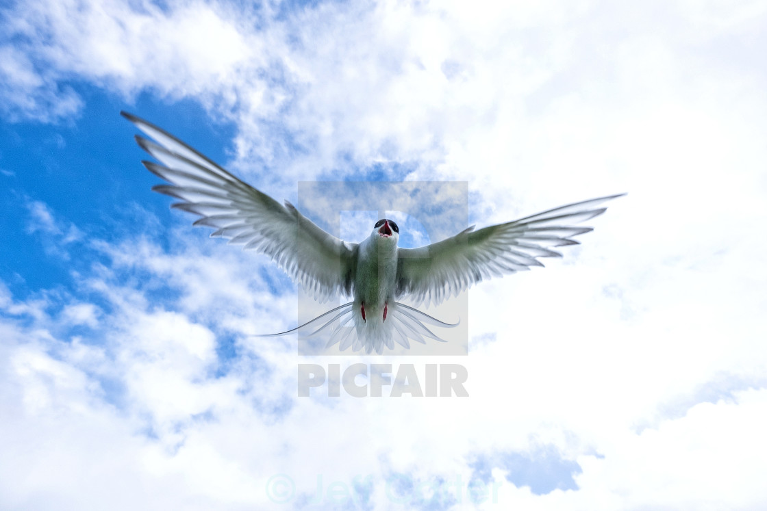 """Arctic Tern Attack"" stock image"