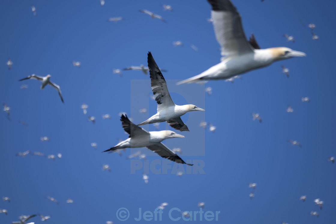"""The Gannets of Bass Rock"" stock image"