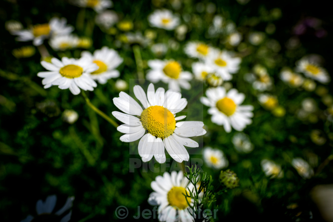 """Giant Daisy"" stock image"