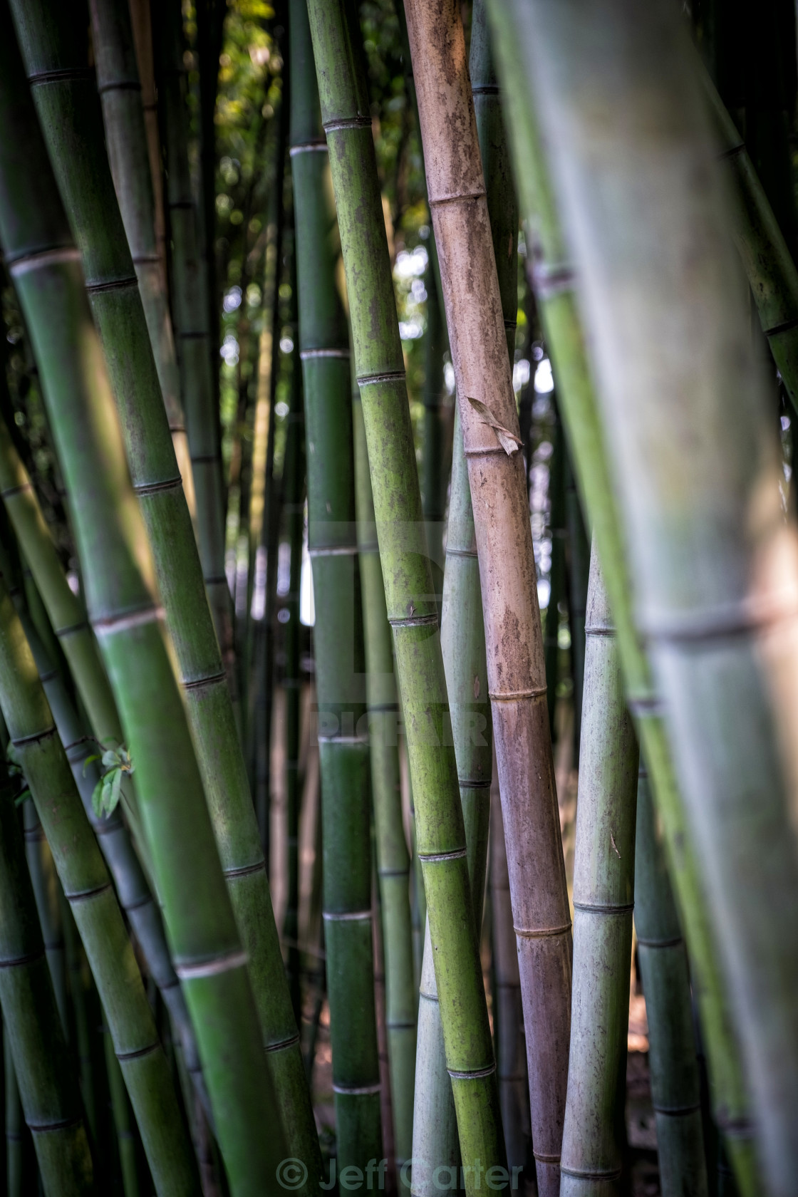 """Bamboo Forest"" stock image"