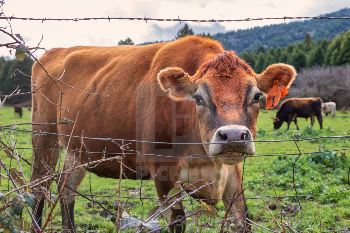 """""""Number One Cow Says Hello at the Fence"""" stock image"""