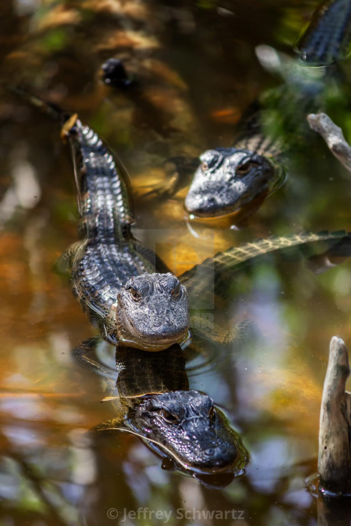 """Wild Aligators in a Florida Mangrove Swamp"" stock image"