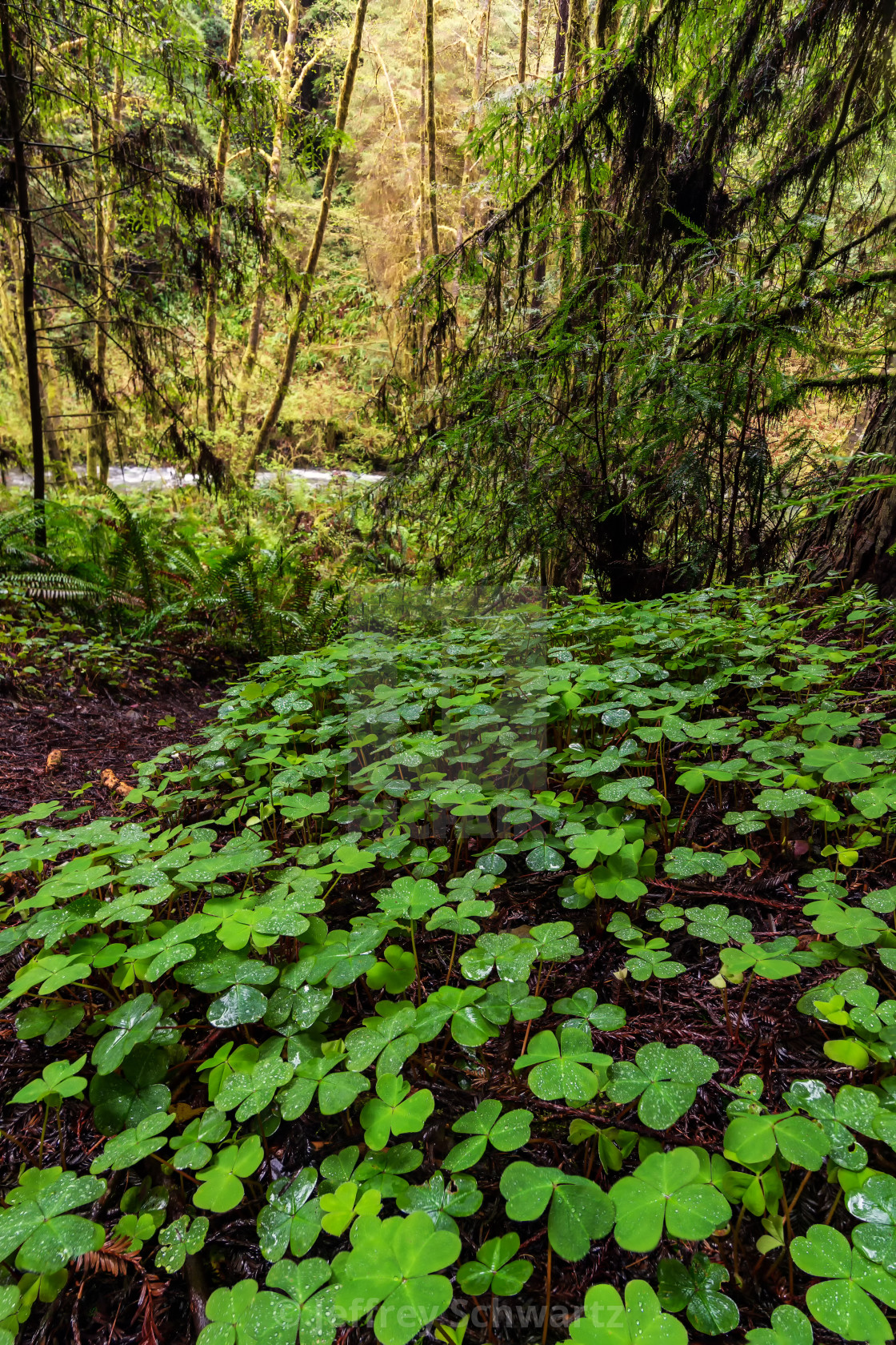"""""""Redwood Forest Landscape in Beautiful Northern California"""" stock image"""