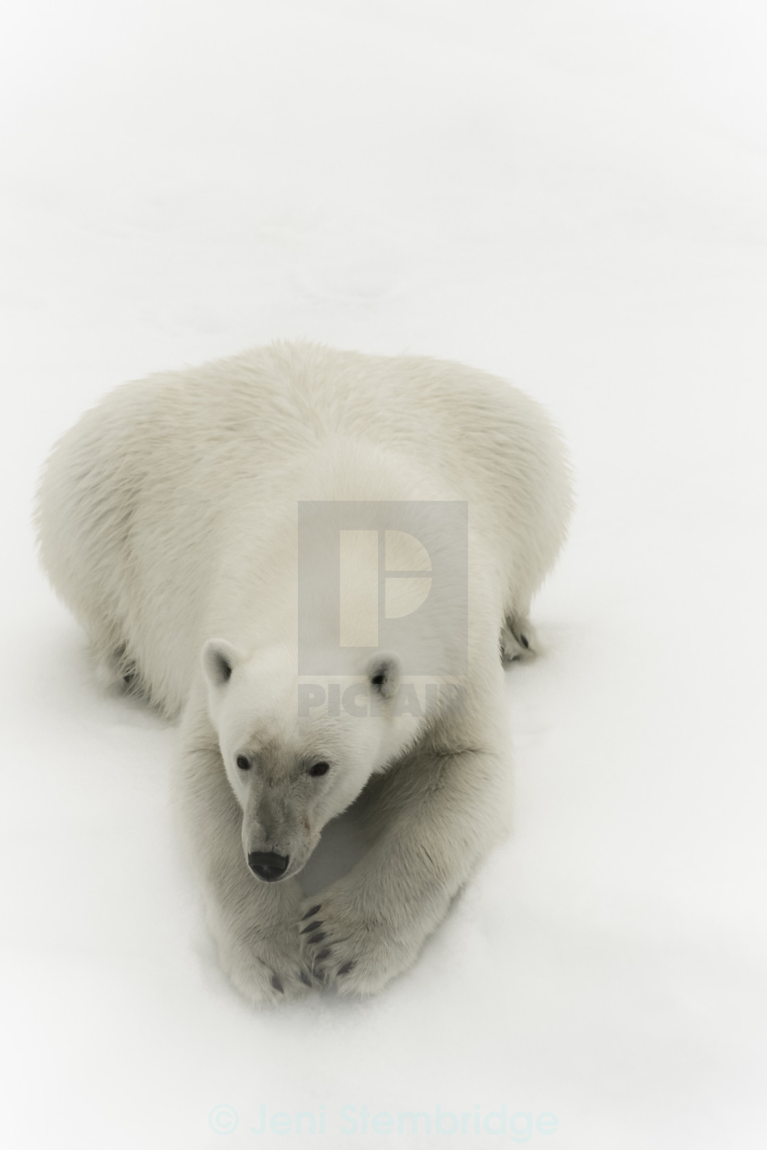 """Polar bear portrait"" stock image"